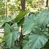 Colocasia esculenta - Coleus_0914