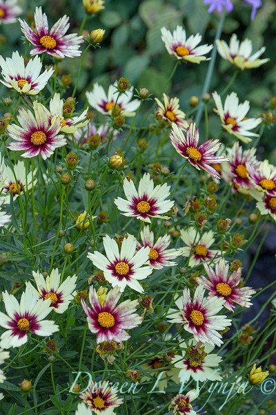 Coreopsis x 'Redshift' Big Bang_0026M-2