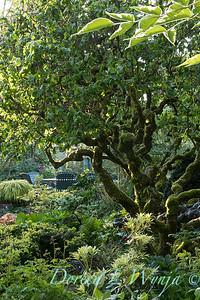 Corylus avellana 'Contorta' - patio setting_4259