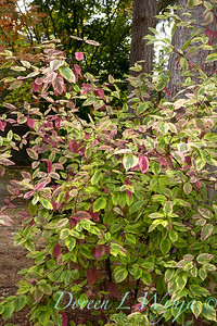 Cornus sericea 'Hedgerow Gold'_2665