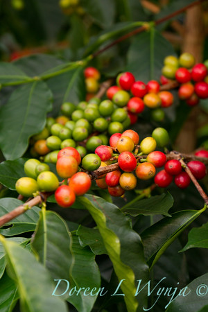 Coffea Arabica_045