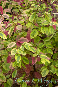 Cornus sericea 'Hedgerow Gold'_2668