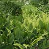 Convallaria majalis 'Hardwick Hall' - Phegopteris decursive-pinnata_4133