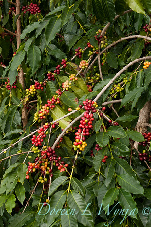 Coffea arabica_083
