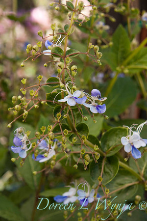 Clerodendrum Blue Glorybower_011