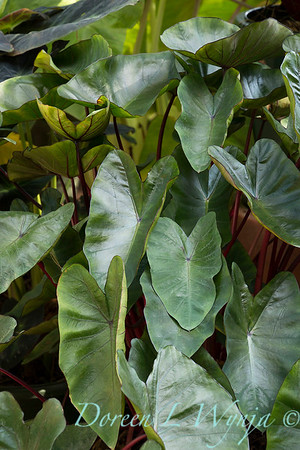 Colocasia esculenta 'Hawaiian Punch'_6869