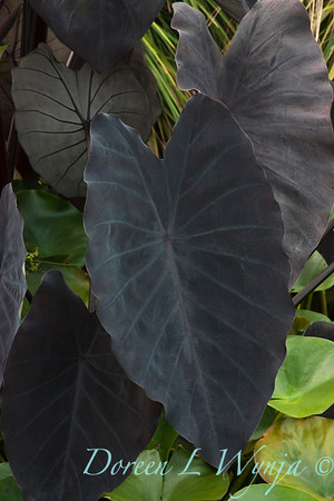 Colocasia Black Ruffles_002