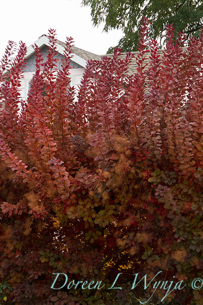 Cotinus coggygria Grace - fall color_7074