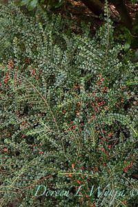Cotoneaster horizontalis 'Perpusillus'_2684