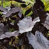 Colocasia esculenta 'Black Coral'_9681