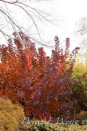 2815 Cotinus Grace_014
