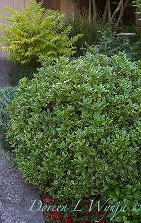 Daphne odora Aureomarginata_041
