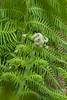 Dicksonia antarctica_006M