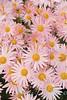 Dendranthema x grandiflorum 'Hillside Pink Sheffield'_1932