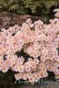 Dendranthema x grandiflorum 'Hillside Pink Sheffield'_1926