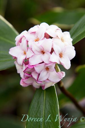 Daphne odorata Aureo marginata_036