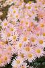 Dendranthema x grandiflorum 'Hillside Pink Sheffield'_1927