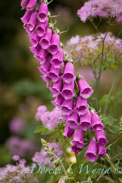 Digitalis purpurea_Doreen Wynja_036