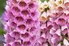 Digitalis purpurea_Doreen Wynja_018