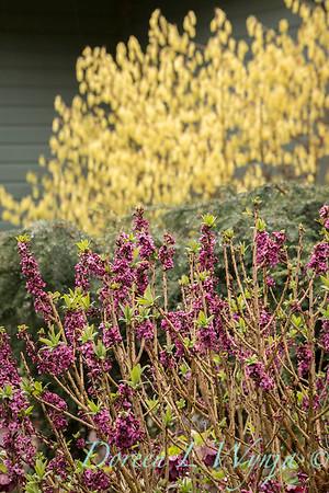 Daphne mezereum - Corylopsis spicata - winter interest_3948