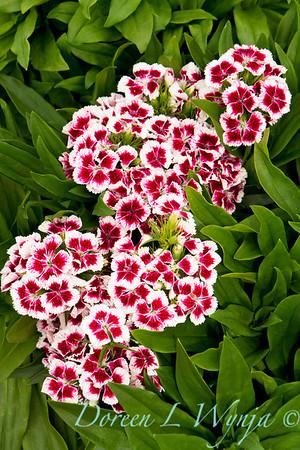 6762 Dianthus barbatus nanus Midget_003