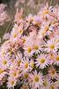 Dendranthema x grandiflorum 'Hillside Pink Sheffield'_1930