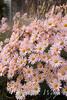 Dendranthema x grandiflorum 'Hillside Pink Sheffield'_1929