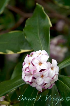 Daphne odorata Aureo marginata_037