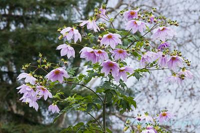 Dahlia imperialis_1804