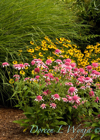 Echinacea purpurea Pink Double Delight_002