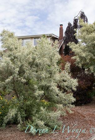 Elaeagnus angustifolia in a landscape_2832
