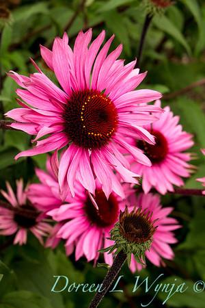 3958 Echinacea purpurea Merlot_005