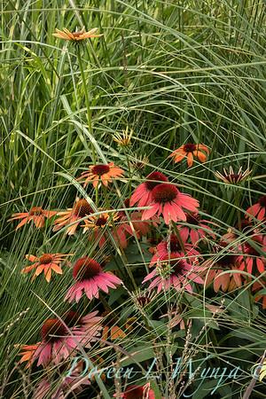 Echinacea in summer grass - garden textures_9535