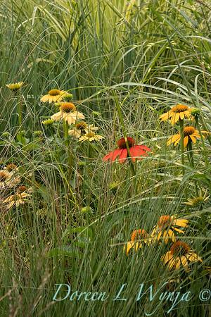 Echinacea in summer grass - garden textures_9533