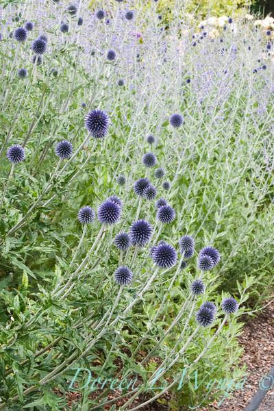 Echinops ritro Veitch's Blue_009