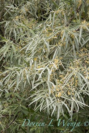 Elaeagnus angustifolia_2817