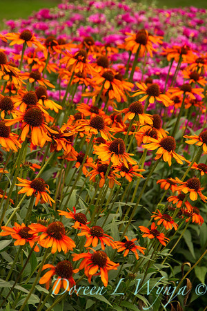 4865 Echinacea purpurea Tiki Torch_002