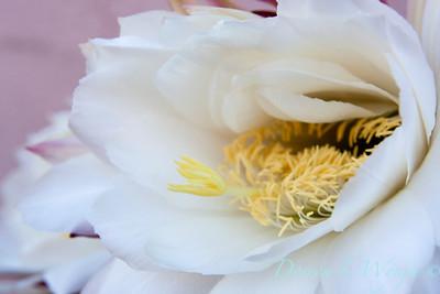 Echinopsis_011