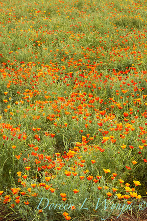 Eschscholzia californica meadow_011