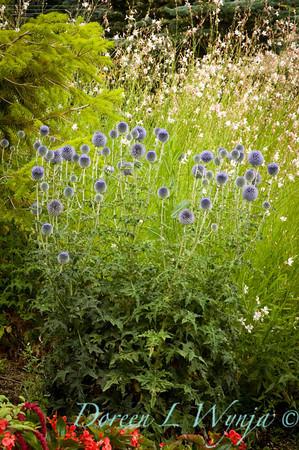 Echinops ritro Veitch's Blue_040