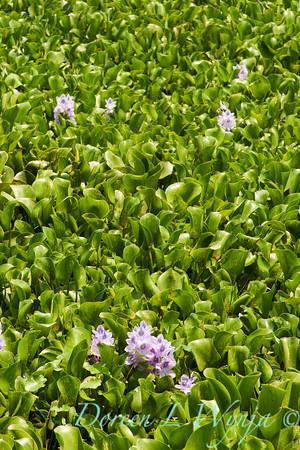 Eichhornia crassipes_014