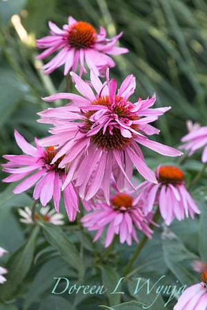 Coneflower; deer resistant; Doubledecker; Echinacea; Echinacea purpurea