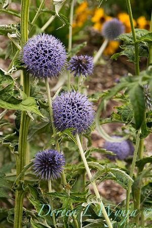 Echinops ritro Veitch's Blue_032
