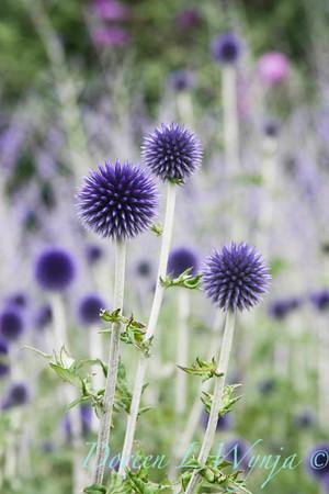 Echinops ritro Veitch's Blue_010