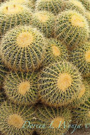 Echinocactus grusonii_1915