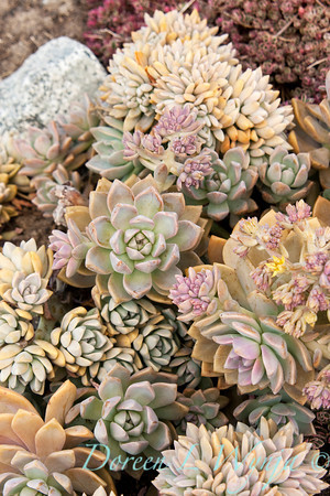 Echeveria prolifica_005