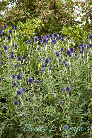 Echinops ritro Veitch's Blue_014