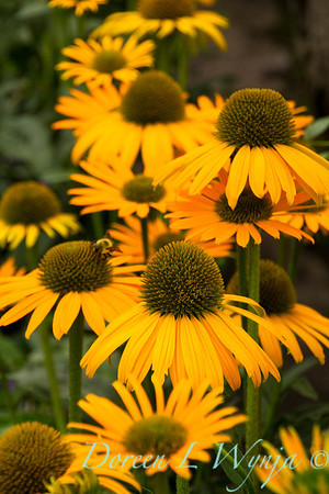 7712 Echinacea Now Cheesier_006
