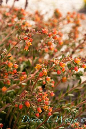 Echeveria Fleur de Or_005