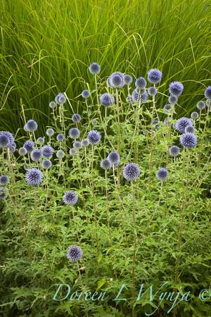 Echinops ritro Veitch's Blue_044